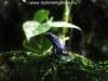 Dendrobates tinctorius azureus
