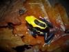 Dendrobates tinctorius  brasilianer