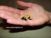 """Dendrobates tinctorius """"citronella"""""""