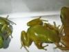 """Dendrobates auratus""""El oro"""""""