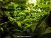 Ficus ssp. Borneo