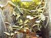 Epipremnum aureum Skeleton