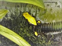 galactonotus sárga
