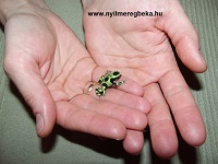 zöld auratus
