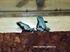 """Adelphobates galactonotus """"blue"""""""