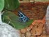 """Dendrobates auratus""""Blue"""""""