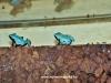 Adelphobates galactonotus blue