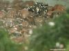 Melanophryniscus stelzneri
