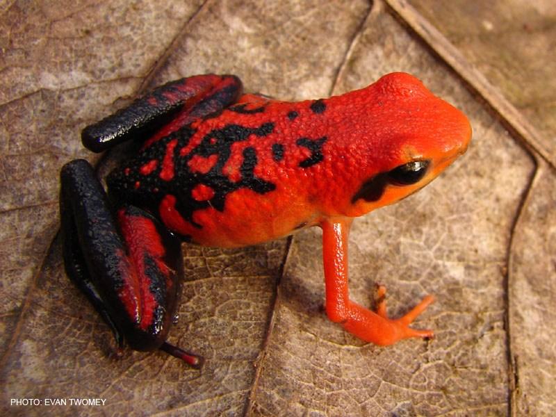 https://www.dendrobates.org/dendrobatoidea/dendrobatidae/colostethinae/ameerega/ameerega-silverstonei/