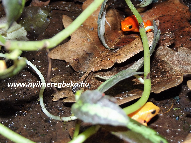 Mantella aurantiaca