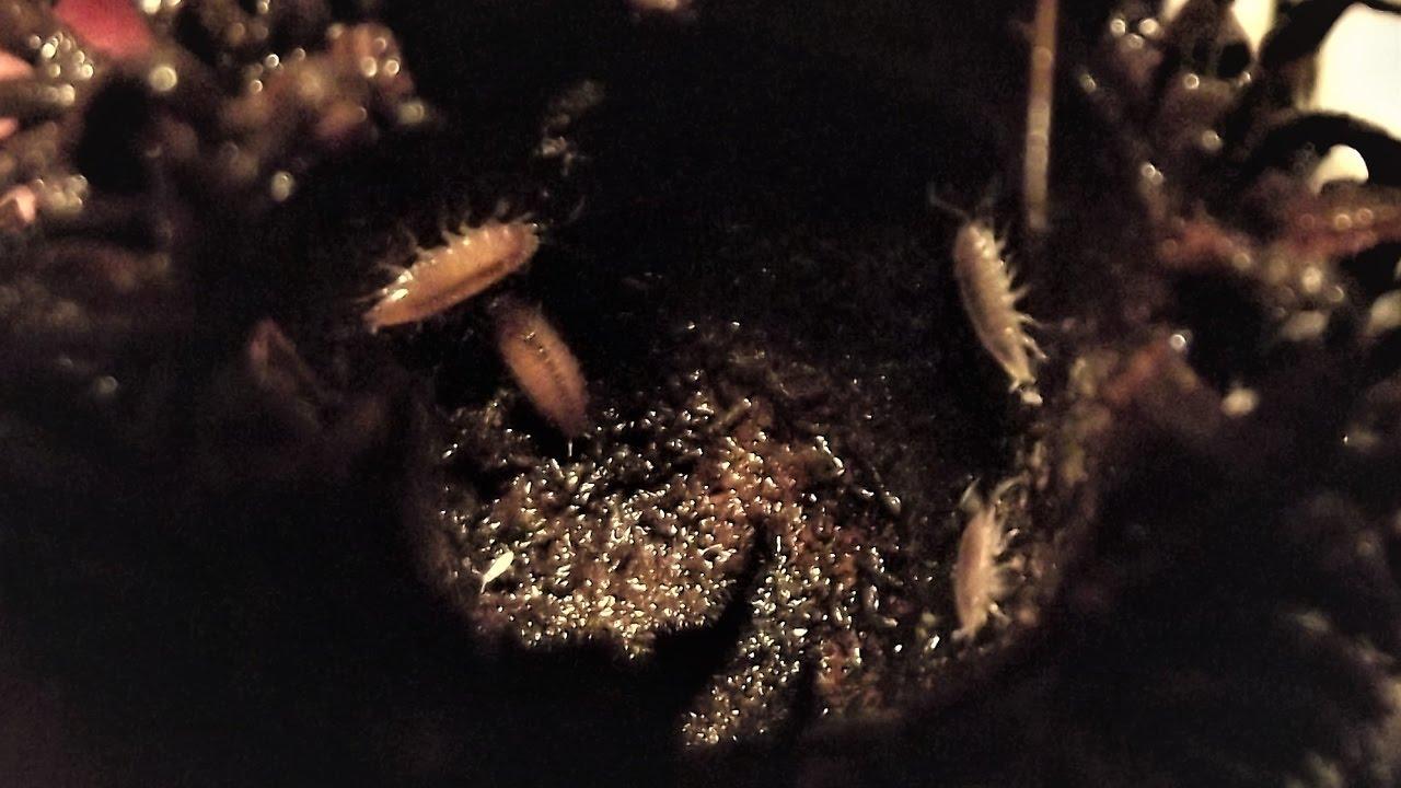 trópusi ászka (barna)