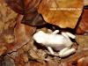 Dendrobates auratus albino