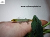 Lygodactylus conraui - Törpe jáde gekkó