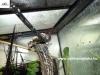 Lygodactylus conraui kicsi