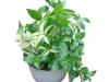 tradescantia_albiflora