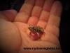 Engystomops pustulosus – Túngura béka