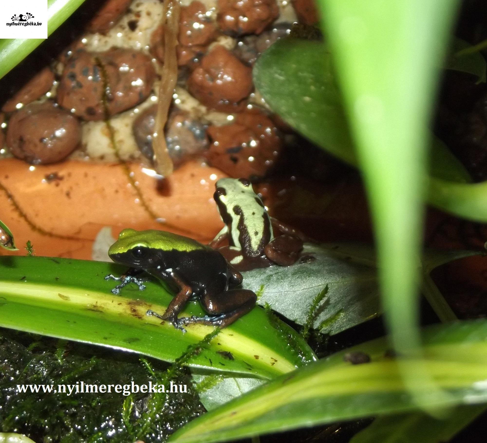 Epipedobates tricolor, Mantella laevigata