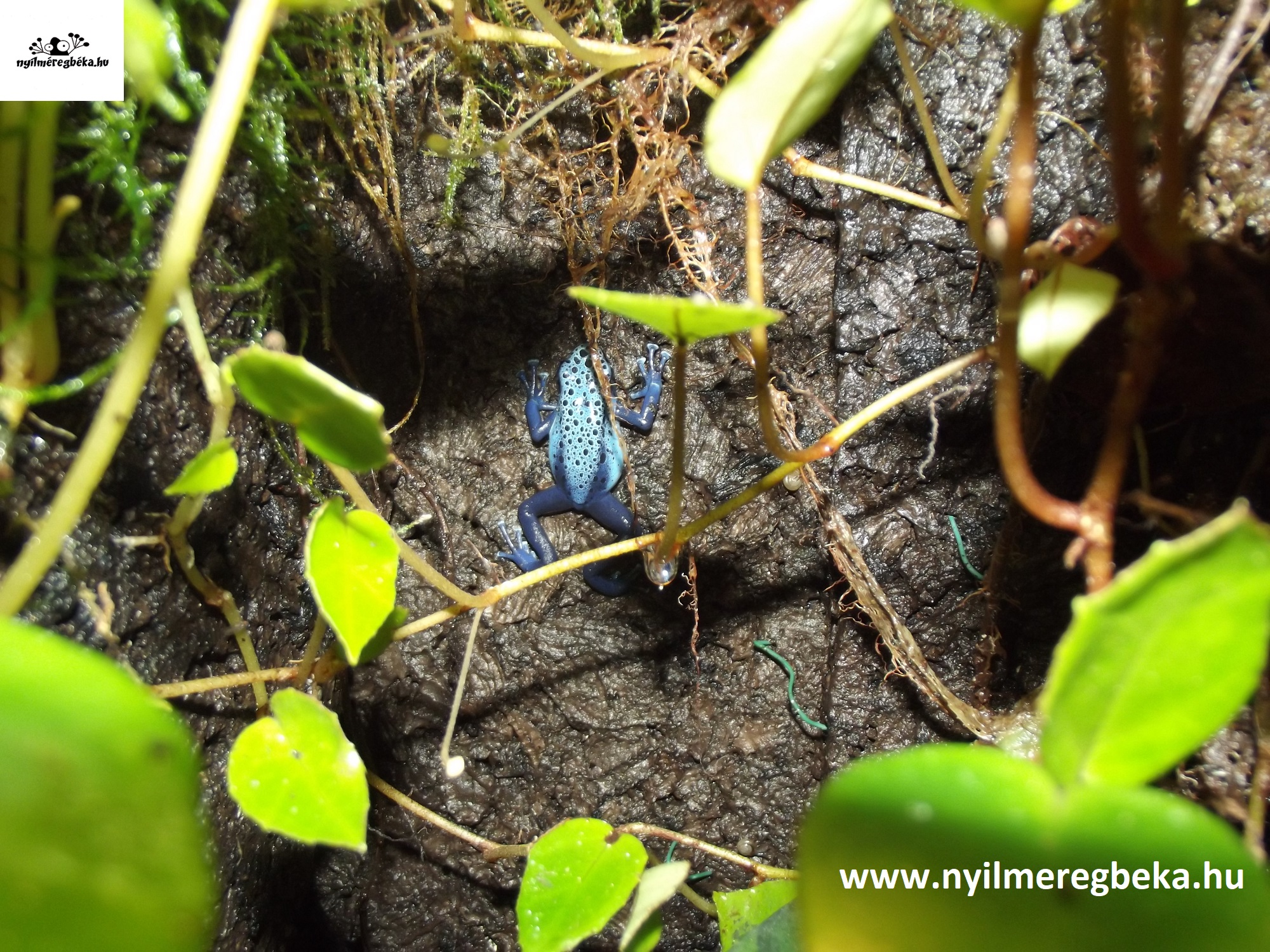 kék nyílméregbéka